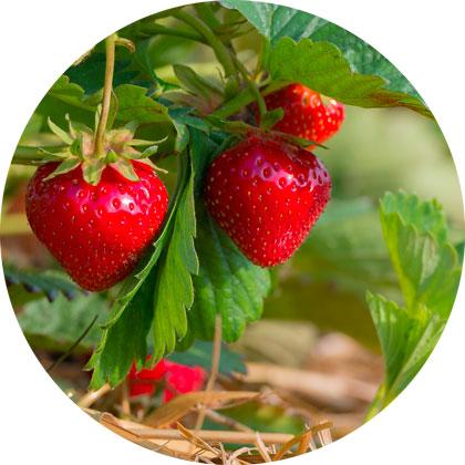Beeren erdbeere-